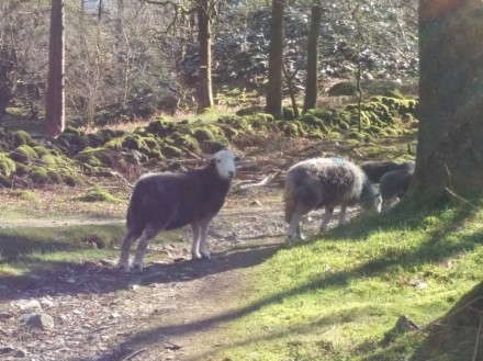 wlk-sheep